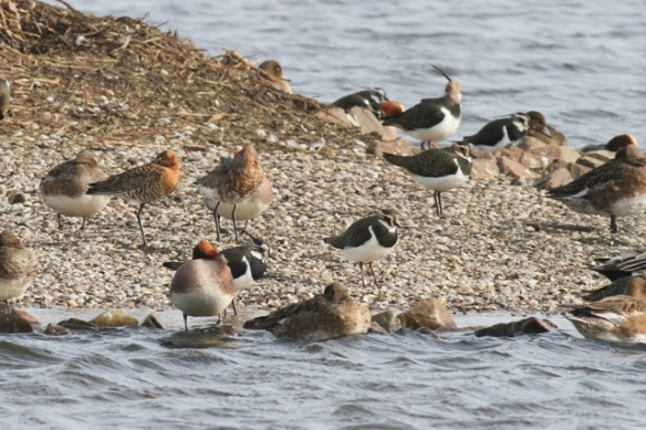 Lapwings and godwits, 23 February 2014