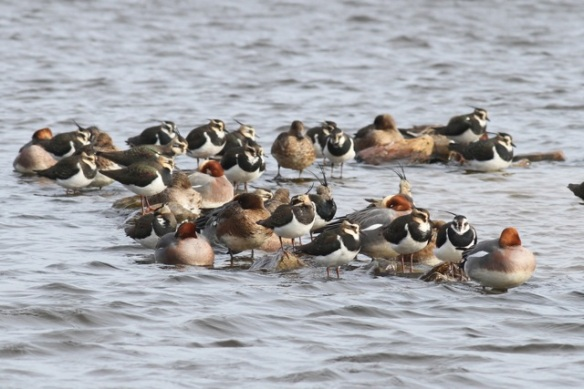 Lapwings and wigeons, 23 February 2014