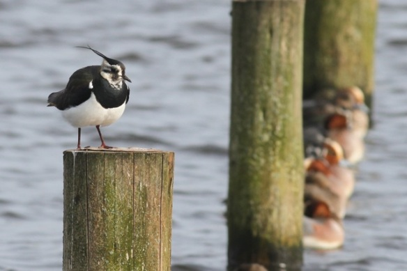 Northern lapwing, 23 February 2014