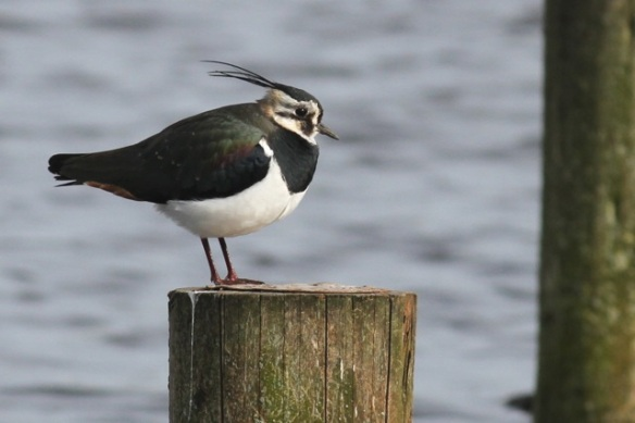 Northern lapwing, Starrevaart, 23 February 2014