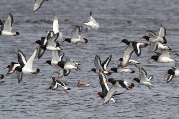 Oystercatchers and avocets flying away, Starrevaart, 23 February 2014