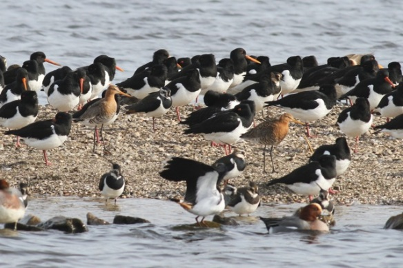 Oystercatchers and godwits, Starrevaart, 23 February 2014