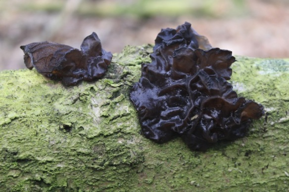 Witches' butter, 23 February 2014