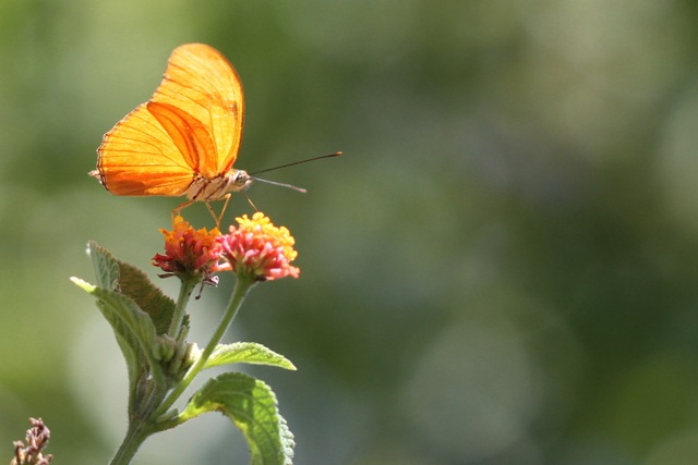 Costa Rican flowers, butterflies and bees (5/6)
