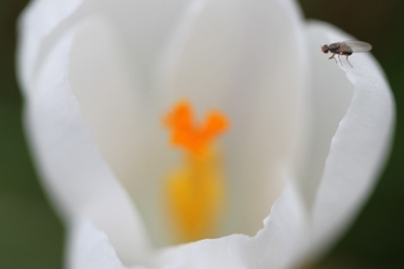 Crocus and fly, 2 March 2014