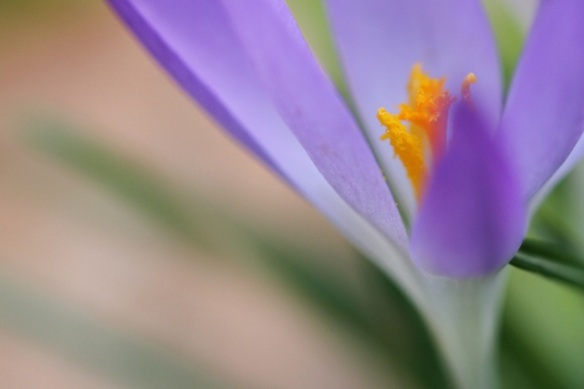 Crocus, cemetery, 2 March 2014