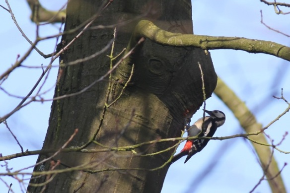 Great spotted woodpecker, 9 March 2014