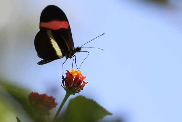 Costa Rican butterflies and birds, 14 March (1/6)