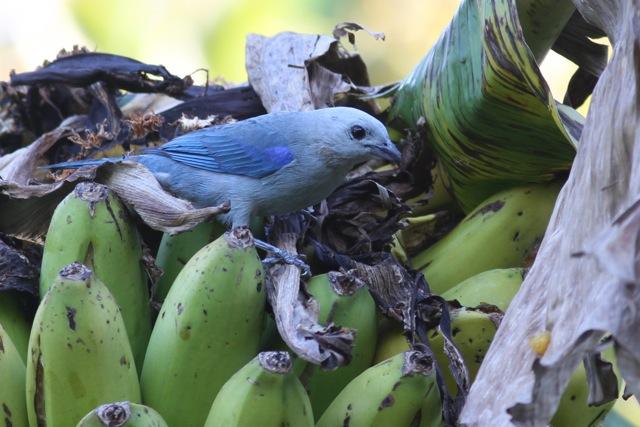 Costa Rican butterflies and birds, 14 March (4/6)