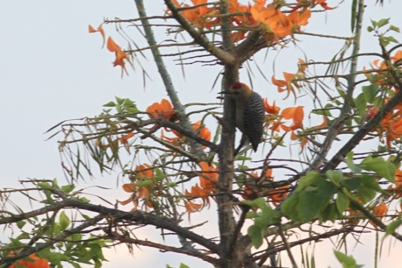 Hoffmann's woodpecker