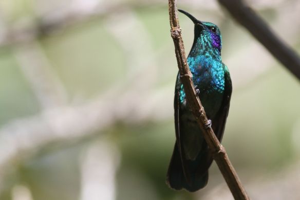 Green violetear hummingbird