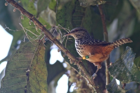 Band-backed wren, La Selva, 16 March 2014