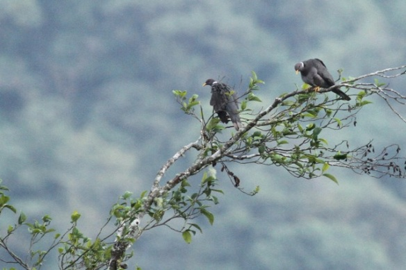 Band-tailed pigeons, 18 March 2014