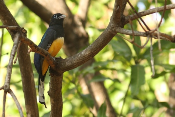 Black-headed trogon, 21 March 2014