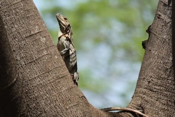Black iguana, 22 March 2014