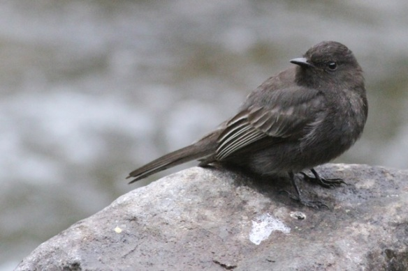 Black phoebe, 17 March 2014