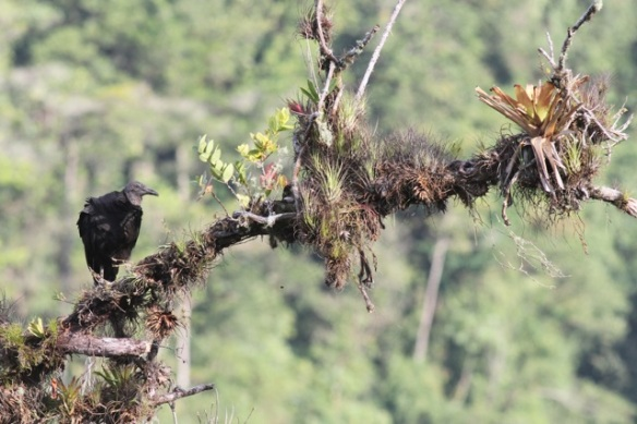 Black vulture, 15 March 2014