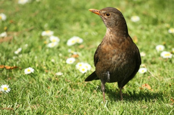 Blackbird female, 25 April 2014