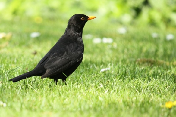 Blackbird male, 25 April 2014