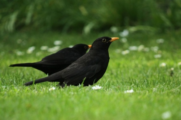 Blackbird males, 25 April 2014