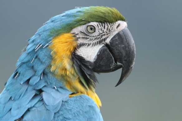 Blue-and-yellow macaw, 20 March 2014