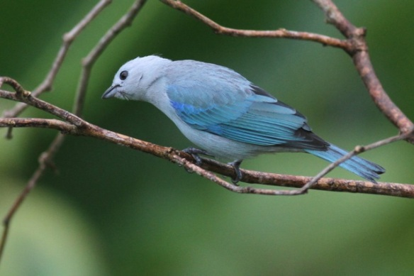 Blue-grey tanager, 20 March 2014