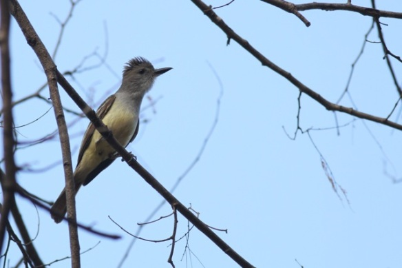 Brown-crested flycatcher, 21 March 2014