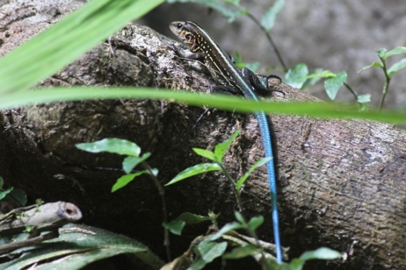 Central American whiptail lizard, 16 March 2014