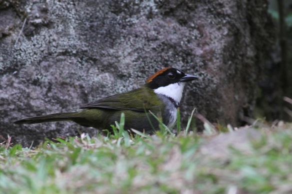 Chestnut-capped brush finch, adult, 18 March 2014