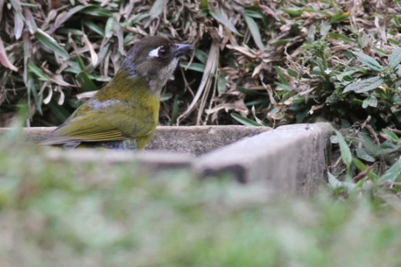 Chestnut-capped brush finch, juvenile, 18 March 2014