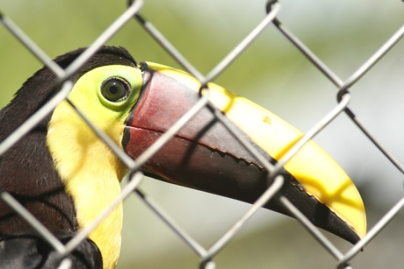 Chestnut-mandibled toucan, 21 March 2014