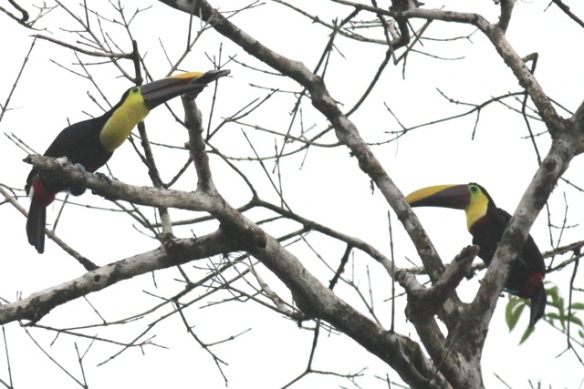 Chestnut-mandibled toucans, 16 March 2016