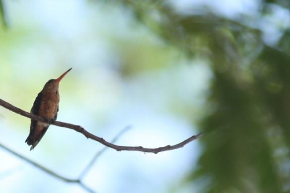 Cinnamon hummingbird, 22 March 2014