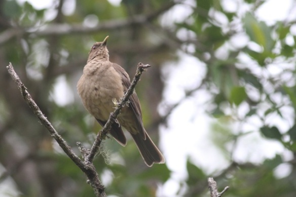 Clay-coloured thrush, 18 March 2014
