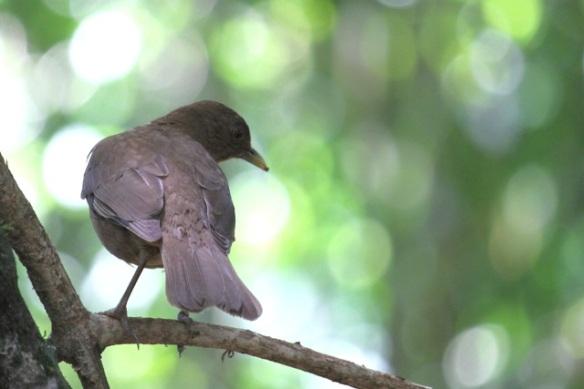 Clay-coloured thrush, Costa Rica, 17 March 2014