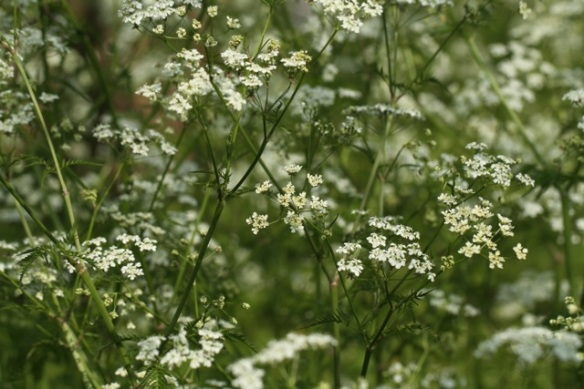Cow parsley, 25 April 2014