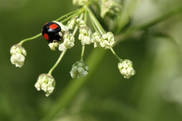 Cow parsley and ladybug, 25 April 2014