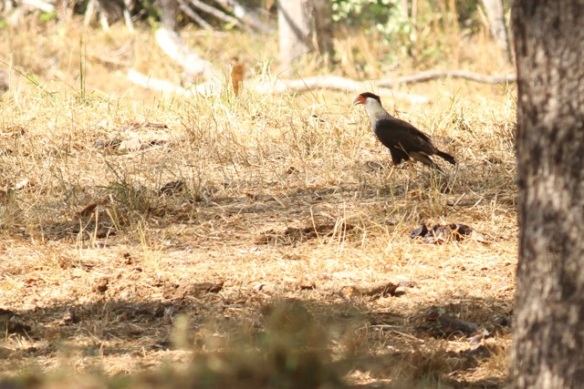 Crested caracara, 21 March 2014
