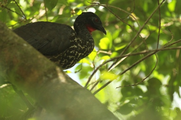 Crested guan, 16 March 2014
