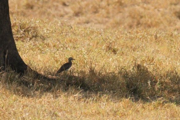 Double-striped thick-knee, 21 March 2014