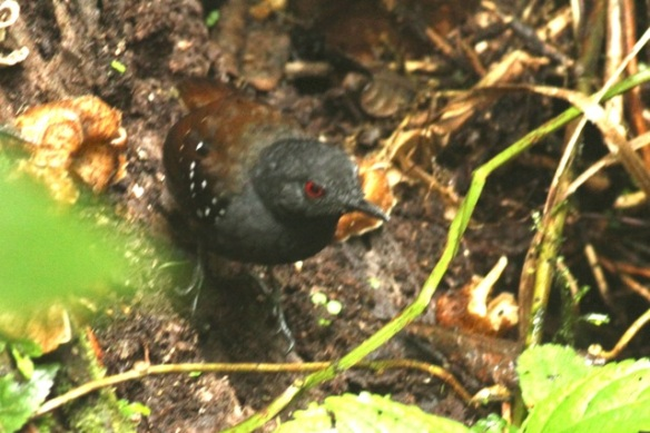 Dull-mantled antbird, 20 March 2014