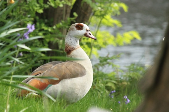 Egyptian goose, 25 April 2014