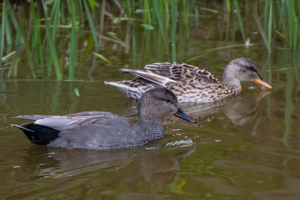 Gadwall couple, 21 April 2014