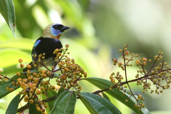 Golden-hooded tanager, 16 March 2014