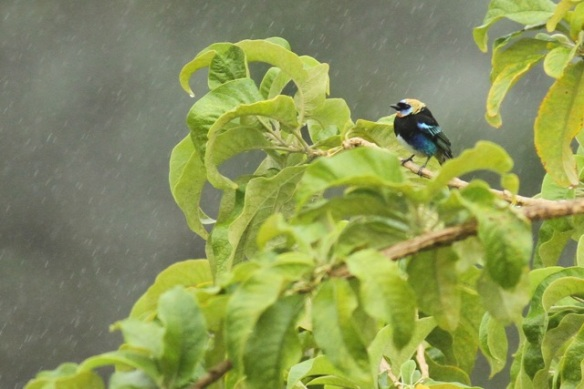 Golden-hooded tanager, 20 March 2014