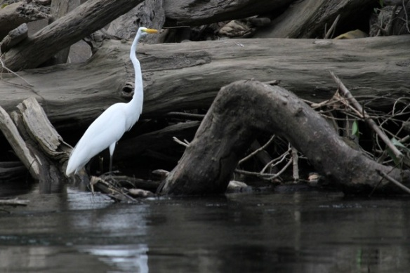 Great egret, 16 March 2014
