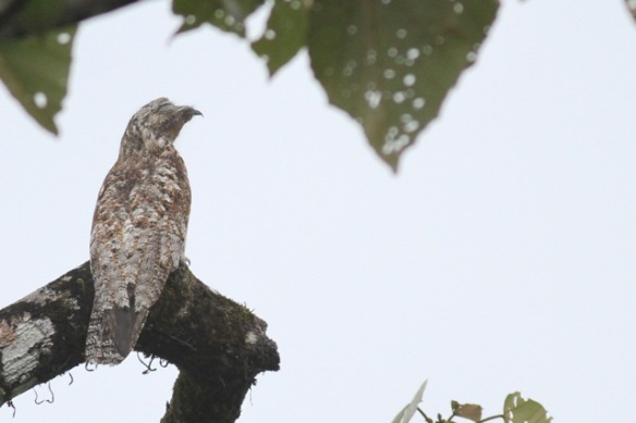 Great potoo, Costa Rica, 17 March 2014