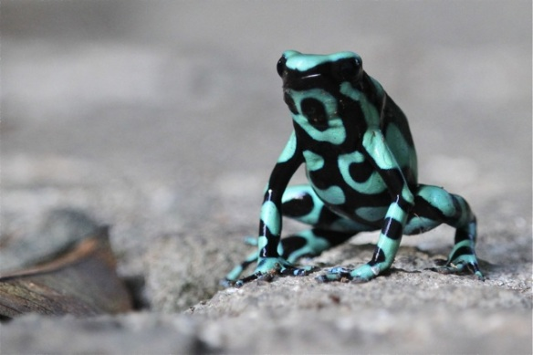 Green-and-black poison frog, 17 March 2014