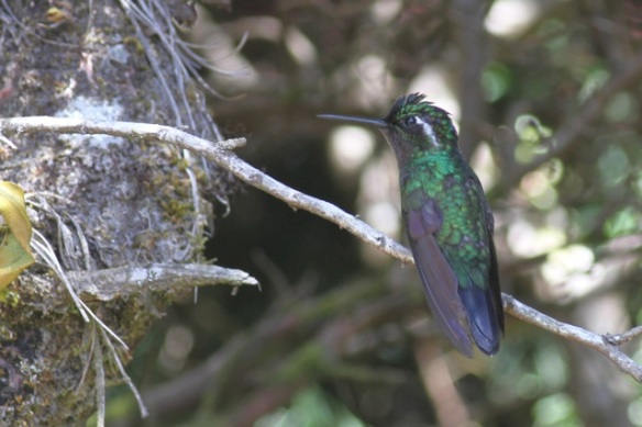 Green-crowned brilliant male, Cinchona, 15 March 2014