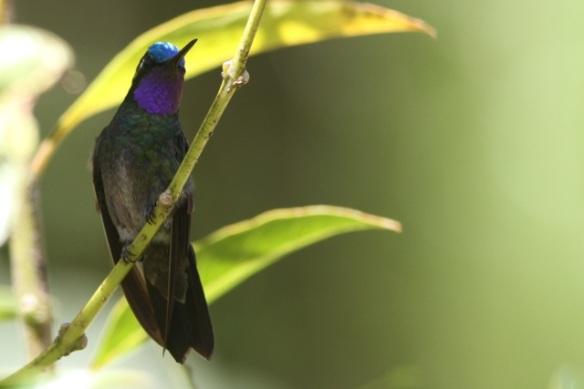 Green-crowned brilliant male, Cinchona, Costa Rica, 15 March 2014